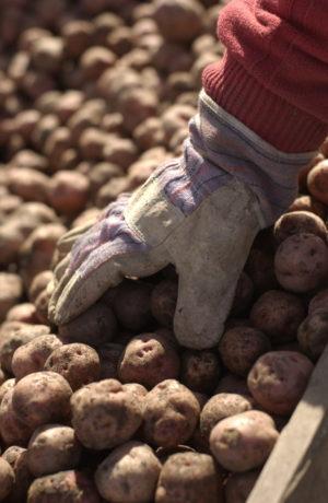 Dyrk dine egne poteter