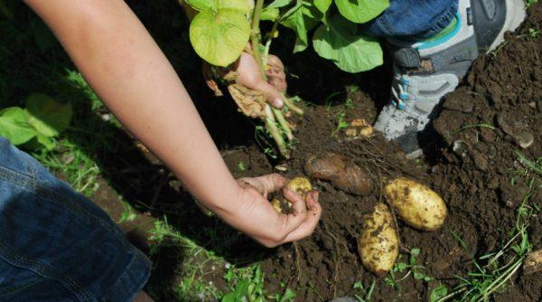 Potetprosjektet – mine egne poteter