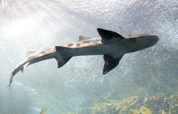 «Haien kommer!»