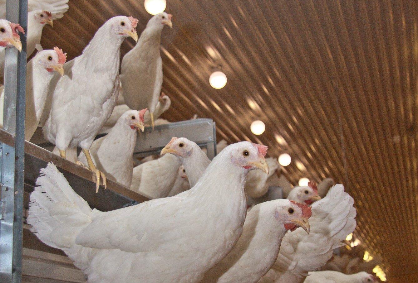 Lær om høna