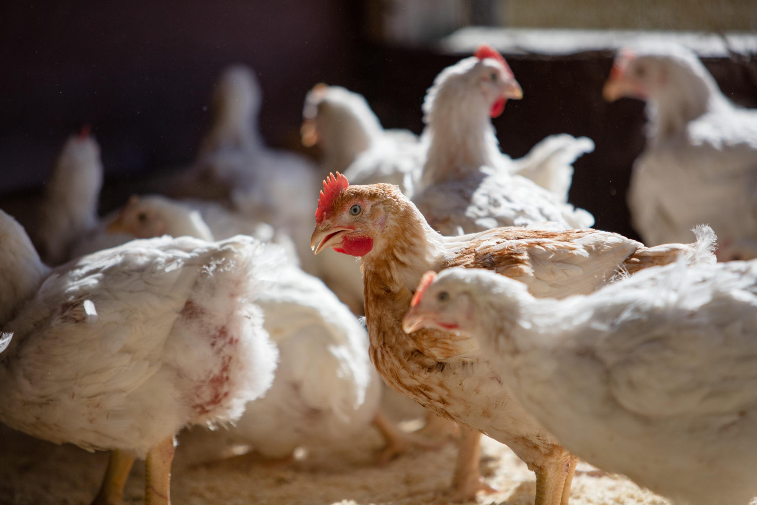 Høner og kylling